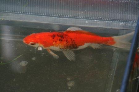 Help mijn goudvissen worden zwart