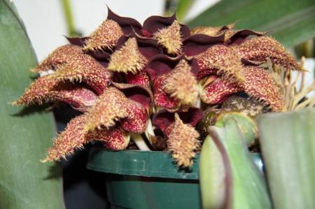 Bulbophyllum phalaenopsis update en andere Antoon.