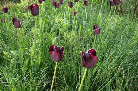 Bemesting tulpen