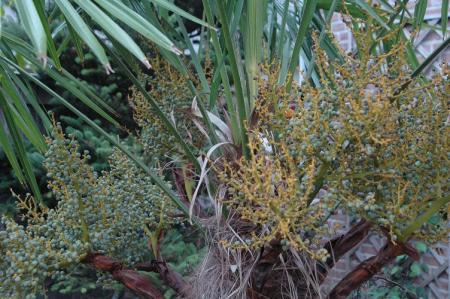 Zaden van Trachycarpus fortunei vallen af