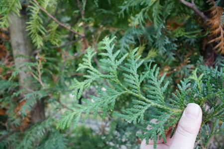 HELP! Coniferen rigoureus gesnoeid, Komt het goed?