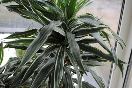 Kent iemand deze kamerplant?