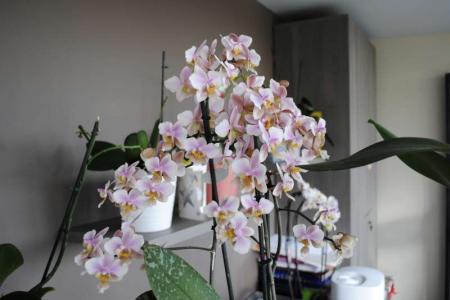 Phalaenopsis Philadelphia