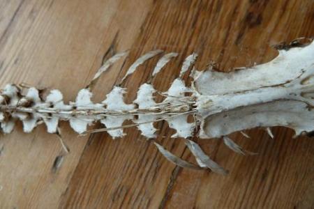 Skelet, van welk dier?