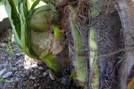 Trachycarpus monstruosum