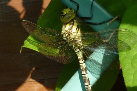 Libelle, net gespot op een clematis
