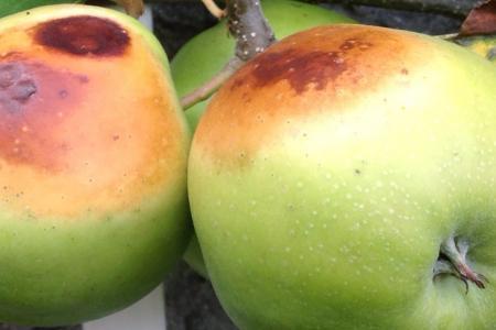 Grote bruine vlekken op appels Jonagold.