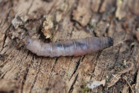Pootloze larve
