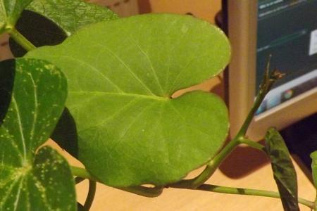 vreemde uitwas op bladeren van een zoete aardappel