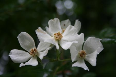 rozen over een muur