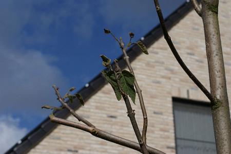 Paulownia: groei gestopt en bladeren wat verlept