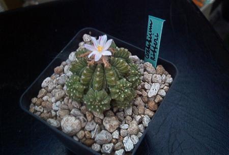 Nog wat foto's van bloeiende cactussen