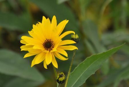 Wilde plant met gele bloemen, tot ca. 2m