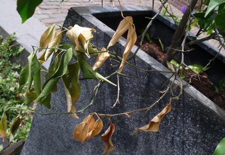 Sinaasappelplant met beestjes en vallende bladeren
