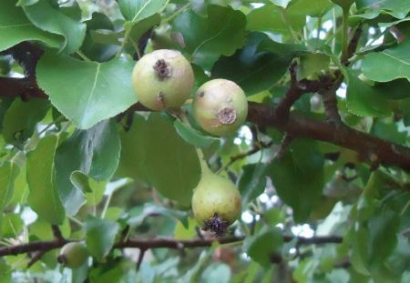 Vruchtboom?
