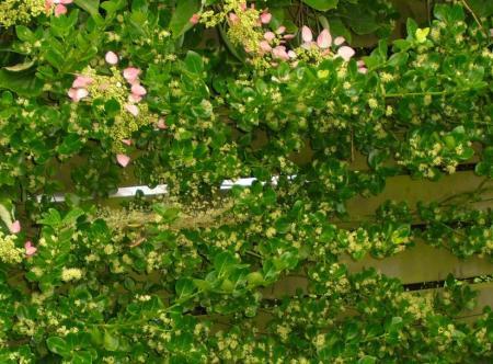 Bladhoudende Klimplanten op noordkant-Geen klimop