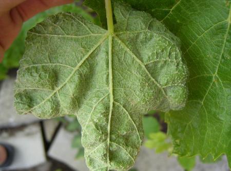 aangetaste druiven bladeren