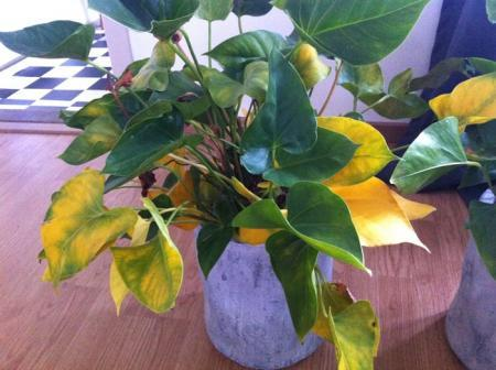 anthurium: gele + aangetaste bladeren