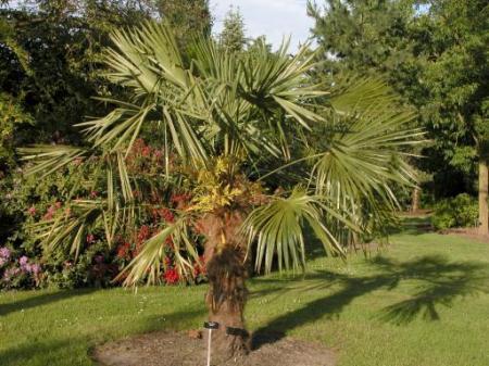 Trachycarpus vraagje