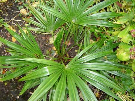 welke (trachycarpus?) soort is dit?
