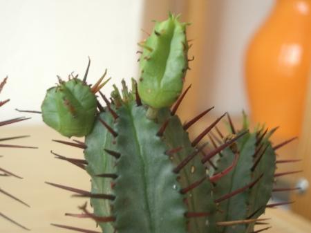 Id van een Euphorbia, welke soort?