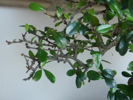 Bonsai ik denk een carmona verliest bladeren help!