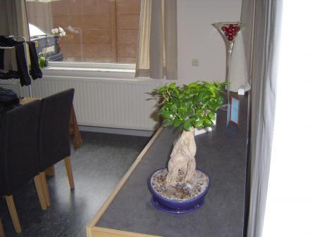 schimmel bonsai ginseng