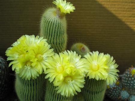 Soort cactus?