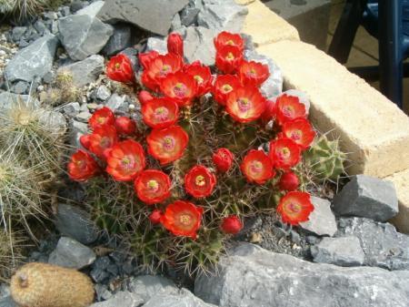 mijn cactus gaat dood denk ik