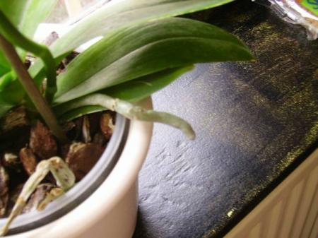 Mijn phalaenopsis orchideeën en.... rare wortel?