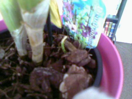 Zielige Dendrobium