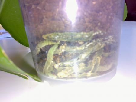 rotte wortels phaleanopsis