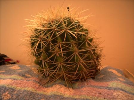 Echinocactus gusonii