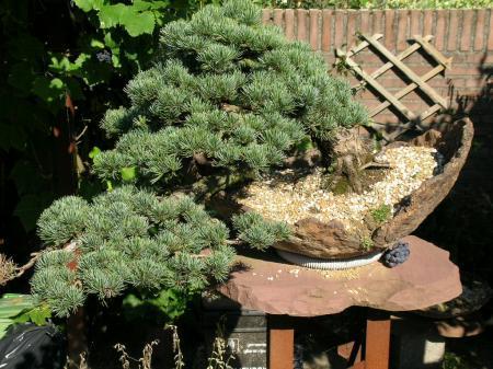 Aankoop eerste bonsai