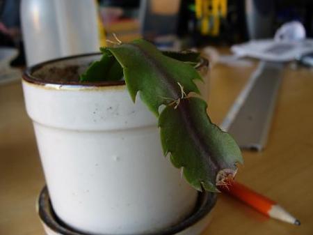 Verzorging stekjes kerstcactus