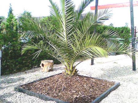 Trachycarpus fortunei en Phoenix canariensis