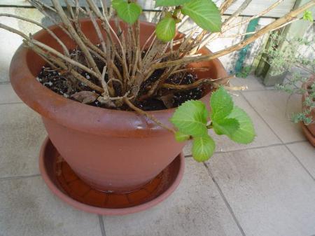 Zieke hortensia