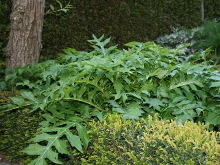 Foto's acanthus