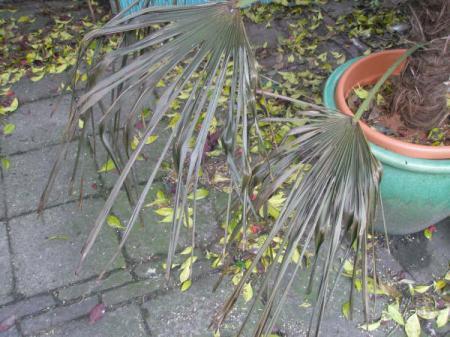 trachycarpus fortunei: bladen verschrompelen
