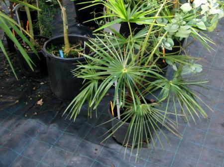 18 ) Livistona chinensis (zone 9-12)