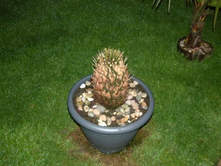 Cycas toch maar ontdaan van zijn geel/groene blad
