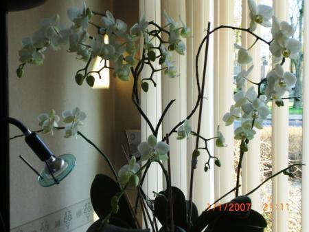 Bloemen en knoppen vallen af bij mijn Phalaenopsis