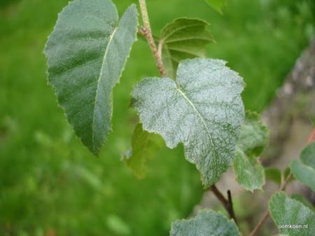 Berk met bladluis en witte stipjes op blad