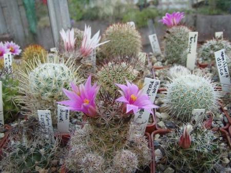 cactussen buiten laten staan -10