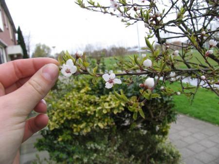 kersenbloesem boom? of iets anders??