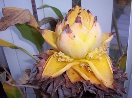 Musa lasiocarpa(musella)