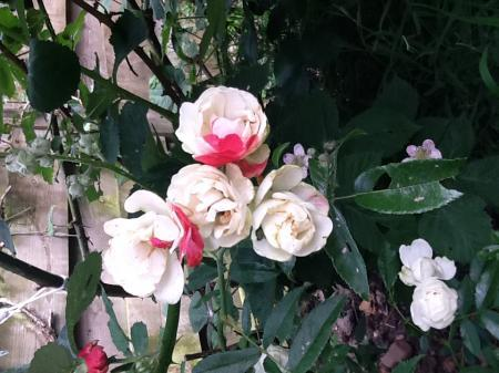 Roos met twee kleuren blaadjes
