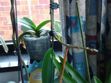 Een orchidee die blijft groeien