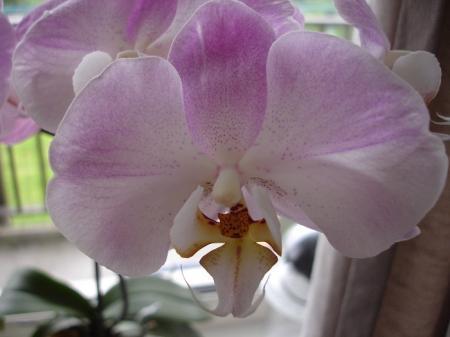 Mijn bloeiende orchideeen