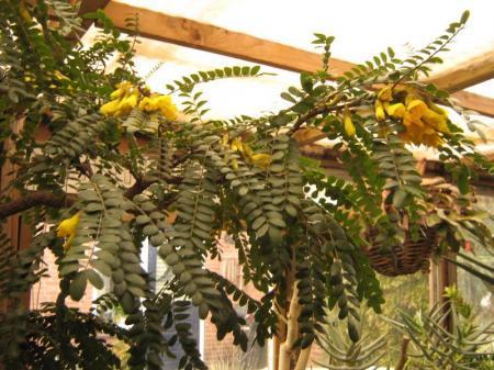 zomerstek Sophora microphylla ´Sun King´